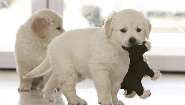 Dos cachorros golden retriever de la Fundación del Perro Guía de la ONCE