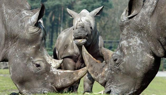 a caza furtiva de rinocerontes en Sudáfrica llegó el año pasado a la cifra récord de 443 animales
