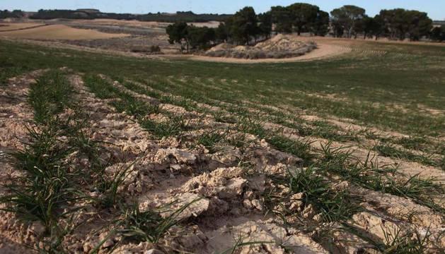 Campos de cereal de Navarra, afectados por la sequía