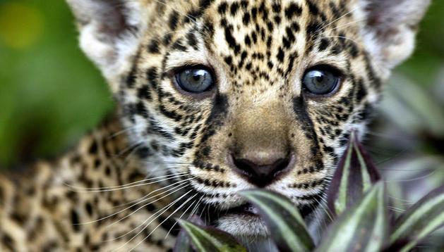 Los jaguares son uno de los animales más venerados por las culturas prehispánicas, y actualmente se encuentra en peligro de extinción