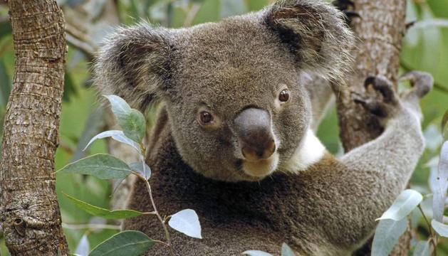 Los koalas podrían extinguirse en 50 años
