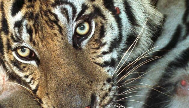 Imagen de un tigre