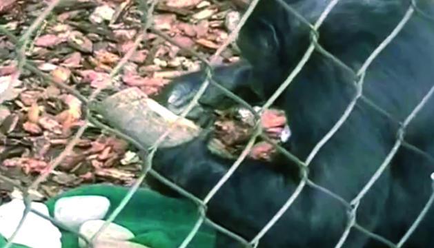 Experimento de la Universidad de Haifa (Israel) sobre bonobos