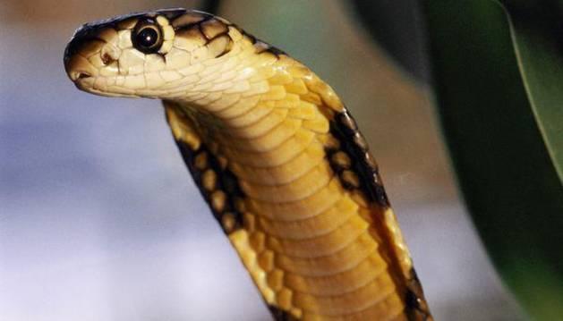 Un ejemplar de cobra