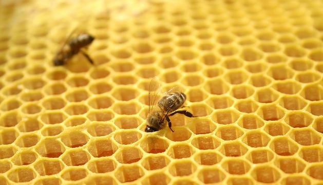 Las investigadores analizan tres posibles causan para la desaparición de las abejas, entre las que estudian un microhongo, una especie de ácaro e insecticidas.