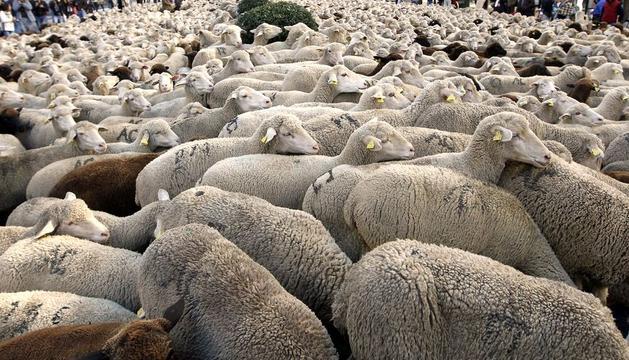 Un rebaño de unas 2.000 ovejas merinas blancas y negras procedentes de la localidad de Siruela (Badajoz) han cruzado hoy el centro de Madrid en el marco de la XIX Fiesta Nacional de la Trashumancia.