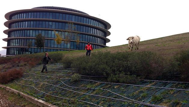 La vaca escapada junto al nuevo edificio de Gamesa