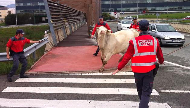 Momento en que los agentes de la Policía Foral evitaban que la vaca escapada cruzara la vía