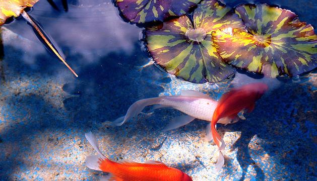 Peces es un estanque de agua dulce.