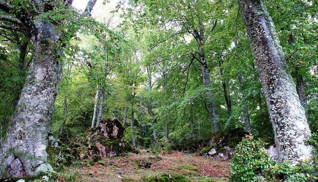 Hayedo entre las sierras de Urbasa y Andía