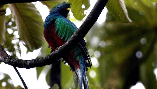 Un quetzal o ''pájaro serpiente'', en la reserva Ranchitos de Quetzal, en Purulha (Guatemala)