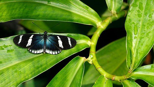 Una mariposa costarricense