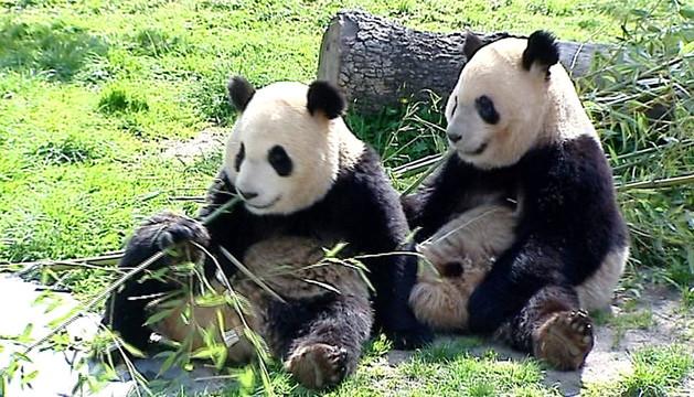 Unos osos panda.