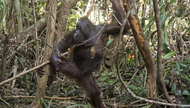 Fotografía facilitada por la organización International Animal Rescue (IAR) del documental español, dirigido por el asturiano Alejo Sabugo y protagonizado por el orangután manco Pelansi