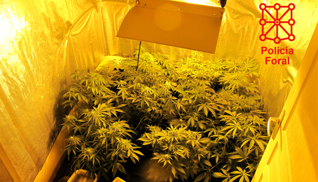 Las plantas de marihuana encontradas en el domicilio