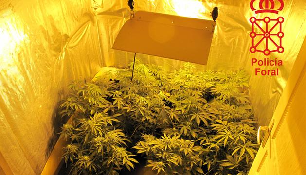 Plantas de marihuana incautadas por la Policía Foral en el operativo