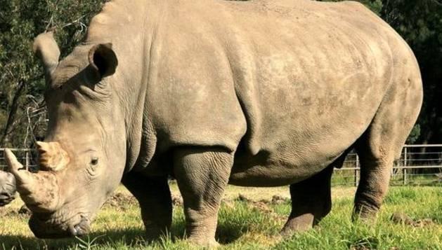 La cría de rinoceronte blanco junto a su madre, Mopani.