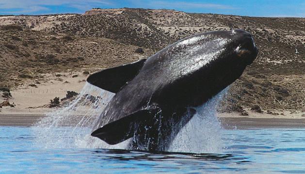 Una ballena franca austral frente a las costas argentinas.