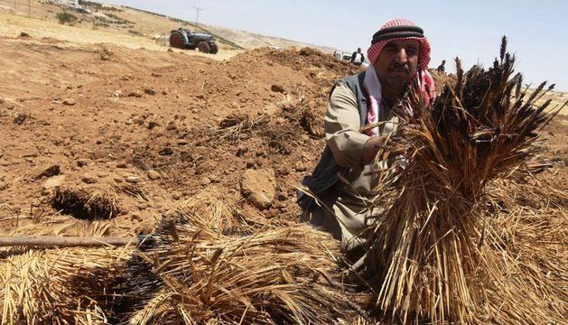 Un agricultor palestino muestra espigas de trigo en un campo de cereal en Yata, cerca de la localidad cisjordana de Hebrón.