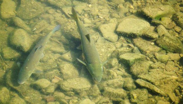 Los peces que habitan Pamplona.