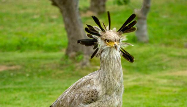 El nuevo Secretario, peculiar rapaz que los visitantes podrán observar en la Exhibición de Aves Rapaces.