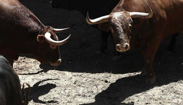 Las ganaderías de Alcurrucén y Dolores Aguirre se encuentran ya en los Corrales del Gas en Pamplona.