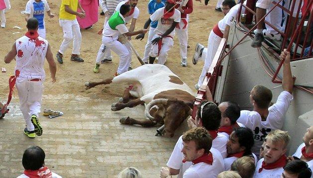 El cabestro, tras caer en la plaza de toros