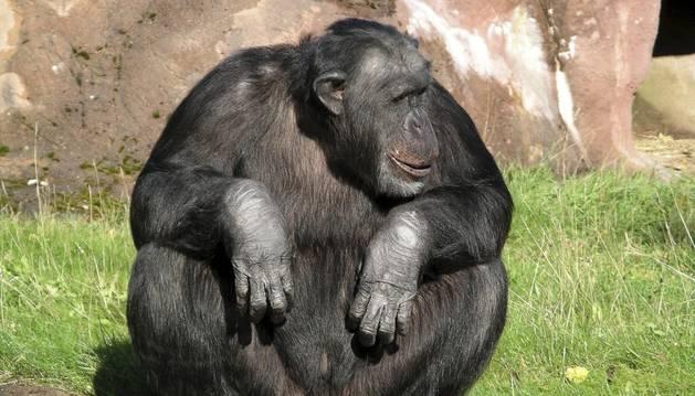 Un chimpancé.