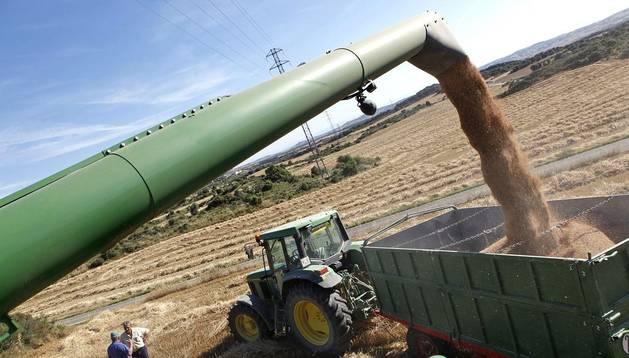 Una cosechadora descarga el grano en un remolque para llevarlo a la cooperativa.