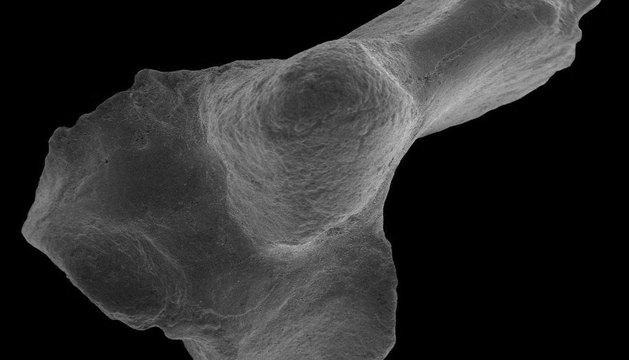Fósil de un hueso del tobillo de un marsupial, encontrado en el yacimiento de Tingamarra, Australia.