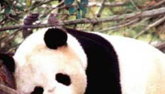 Un oso panda apoyado en una rama