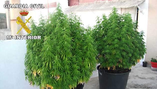 Plantas de marihuana que cultivaba el joven de 27 años.