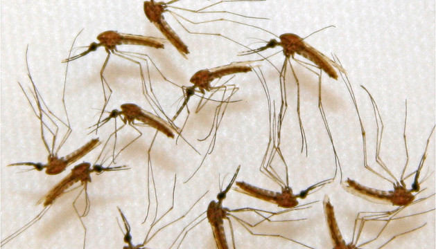 Mosquitos infectados de malaria en un laboratorio.