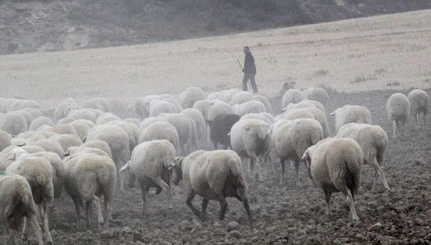 Un pastor con sus ovejas en Bardenas Reales.