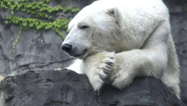 El oso polar Gus.