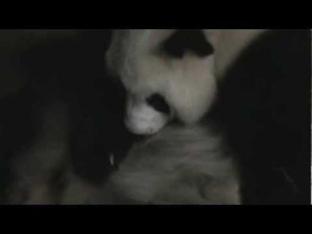 "Un oso panda ""chillón"" que grita con fuerza desde el primer momento"