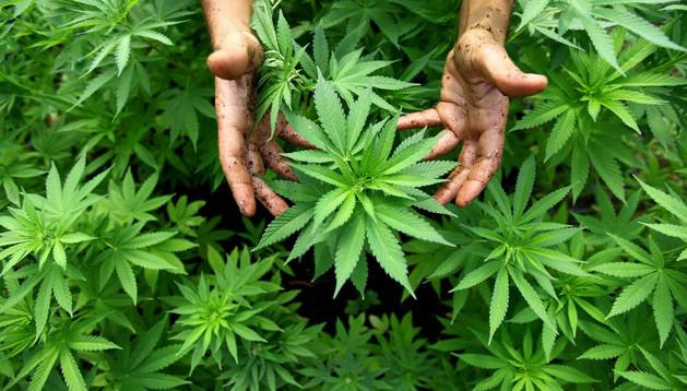 Una persona muestra plantas de marihuana o cannabis