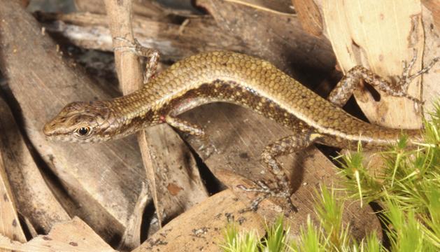 Una lagartija dorada, una de las tres nuevas especies descubiertas por una expedición científica en una zona aislada del noroeste de Australia