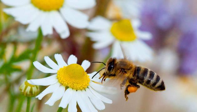 Una abeja sobre una margarita