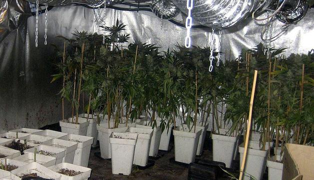 Se localizó un importante laboratorio hidropónico, perfectamente acondicionado para el cultivo de marihuana cubierto.