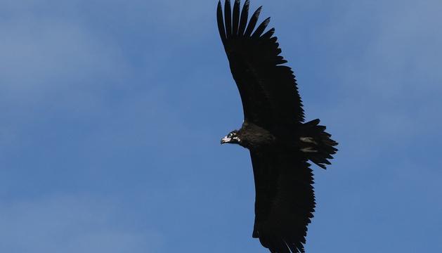 Un buitre negro en la Sierra del Perdón