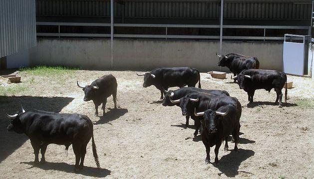 Astados de Dolores Aguirre en los corrales del gas los días previos a los Sanfermines de 2013