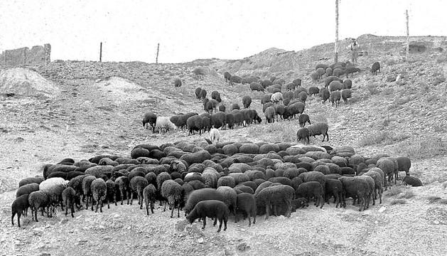 A comienzos del siglo XX, en Tudela existía una raza de oveja negra de lana muy fina