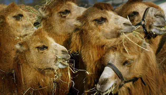 Un grupo de camellos