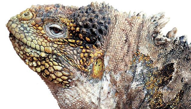 Una iguana de las Islas Galápagos, donde Darwin llegó con el Beagle
