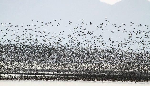 Un grupo de aves migratorias en Corea del Sur