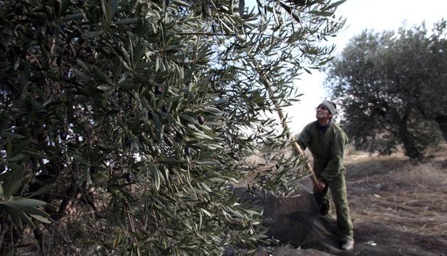 Un agricultor varea un olivo en una finca de Cintruénigo