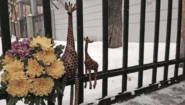 Imagenes del homenaje a la jirafa a las puertas de la embajada danesa