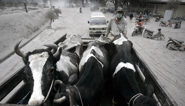 Un campesino evacúa su ganado de la localidad de Malang, en Java, que se encuentra cubierta por las cenizas del volcán Kelud