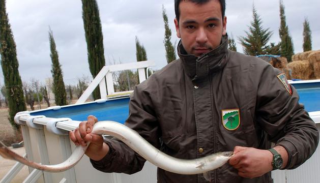 El guarda Enrique Pérez muestra una de las anguilas que se sacaron de la balsa a una piscina para estudiar lo que está ocurriendo